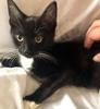 [picture of Caper, a Domestic Short Hair black/white cat]