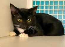 [picture of Caper, a Domestic Short Hair black/white\ cat]