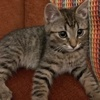 A picture of #ET03413: Bill a Domestic Short Hair brown tabby