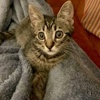 A picture of #ET03414: Ted a Domestic Short Hair brown tabby