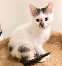[another picture of Timon, a Turkish Van Mix white/brown\ cat]