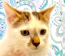 [picture of Timon, a Turkish Van Mix white/brown\ cat]