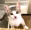 A picture of #ET03417: Pumbaa a Turkish Van Mix silver/white