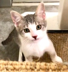 [picture of Pumbaa, a Turkish Van Mix silver/white\ cat]