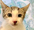 A picture of #ET03418: Mufasa a Turkish Van Mix brown tabby/white