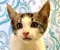 A picture of #ET03419: Simba a Turkish Van Mix brown tabby/white