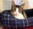A picture of #ET03422: Faraon a Domestic Short Hair gray tick tabby/white