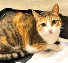 [picture of Hazel, a Domestic Short Hair calico\ cat]