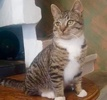 A picture of #ET03425: Casper a Domestic Short Hair gray tabby/white