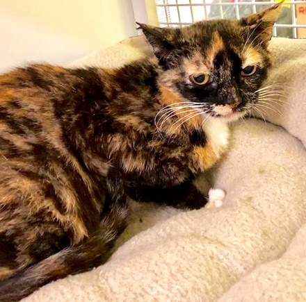 [picture of Reina, a Domestic Short Hair calico\ cat]