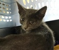 A picture of #ET03427: Raulings a Russian Blue Mix blue
