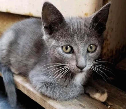 [picture of Sermano, a Domestic Short Hair blue/white\ cat]