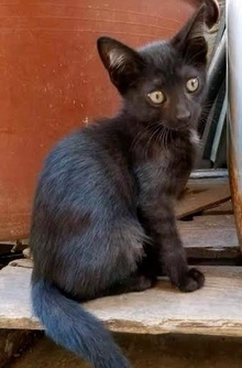 [another picture of Bastian, a Domestic Short Hair black\ cat]