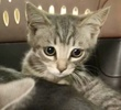 A picture of #ET03430: Airsees a Domestic Short Hair silver