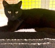 A picture of #ET03431: Neo a Domestic Short Hair black