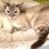 A picture of #ET03432: Ms Blue a Siamese Mix lynx point