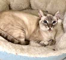 [another picture of Ms Blue, a Siamese Mix lynx point\ cat]