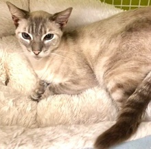 [picture of Ms Blue, a Siamese Mix lynx point\ cat]