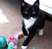 A picture of #ET03434: Oreo Flurry a Domestic Short Hair black/white