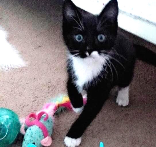 [picture of Oreo Flurry, a Domestic Short Hair black/white\ cat]