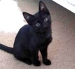 A picture of #ET03435: Snicker Bar a Domestic Short Hair black
