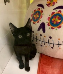 [another picture of Kalua Fudge, a Domestic Short Hair black\ cat]