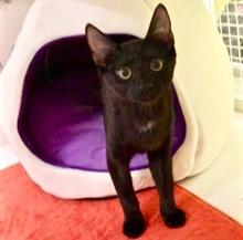 [picture of Kalua Fudge, a Domestic Short Hair black\ cat]