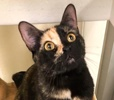 A picture of #ET03437: Penney Loafer a Domestic Short Hair tortie
