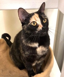 [another picture of Penney Loafer, a Domestic Short Hair tortie\ cat]