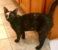 [picture of Penney Loafer, a Domestic Short Hair tortie cat]