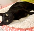 A picture of #ET03438: Mr Midnight a Domestic Short Hair black