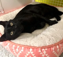 [another picture of Mr Midnight, a Domestic Short Hair black\ cat]
