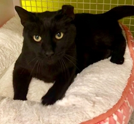 [picture of Mr Midnight, a Domestic Short Hair black cat]