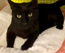 [picture of Mr Midnight, a Domestic Short Hair black\ cat]
