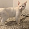 A picture of #ET03439: Chinook a Domestic Short Hair white