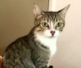 A picture of #ET03440: Cora a Domestic Short Hair gray tabby/white