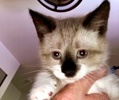 A picture of #ET03441: Otis a Siamese Mix seal point