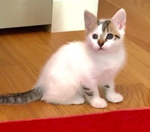 [picture of Sadio, a Domestic Medium Hair white/tabby\ cat]
