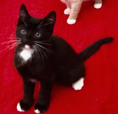 [picture of Sylvester, a Domestic Medium Hair black/white\ cat]