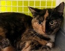 A picture of #ET03444: Abagail a Domestic Short Hair calico