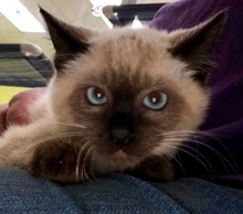 [picture of Little Blue, a Burmese seal point\ cat]