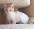 A picture of #ET03446: Little Brightheart a Domestic Short Hair orange/white