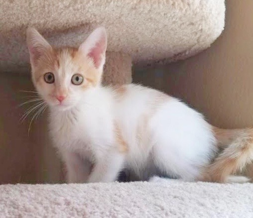 [picture of Little Brightheart, a Domestic Short Hair orange/white\ cat]