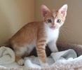 A picture of #ET03447: Little Lionheart a Domestic Short Hair orange/white