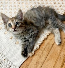 [picture of Lizzo, a Domestic Long Hair tabby/tortie\ cat]