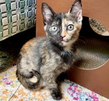 [picture of Billie, a Domestic Short Hair tortie\ cat]