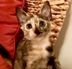 A picture of #ET03452: Halsey a Domestic Short Hair tortie