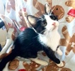 A picture of #ET03453: Slippers a Domestic Short Hair black/white