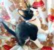 A picture of #ET03454: Socks a Domestic Short Hair black/white