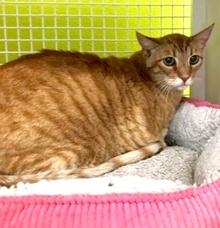 [picture of Ivan, a Oriental Short Hair Mix orange cat]
